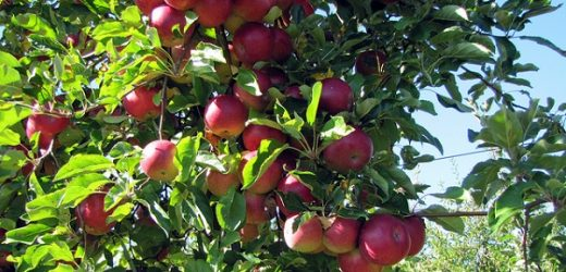 Can I Buy Fan and Espalier Apple Trees In The UK?